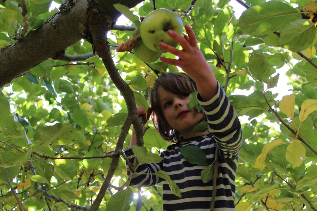 My son Artur collecting Bramley apples to make our baked Bonfire apple recipe